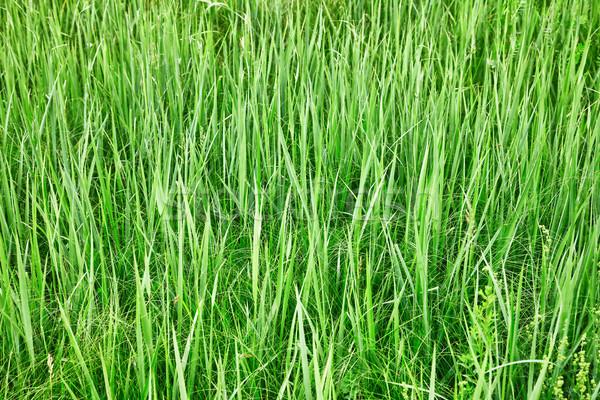 緑 草 自然 夏 テクスチャ ストックフォト © pzaxe