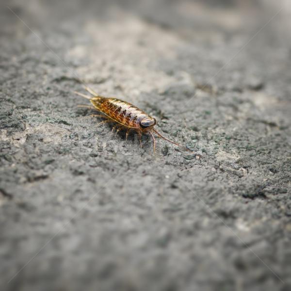 Sea slater (sea louse) on stone Stock photo © pzaxe