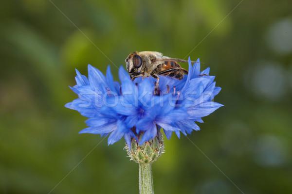 лет подобно Bee синий василек Сток-фото © pzaxe
