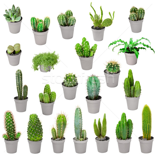 Set of indoor plants in pots - cactuses isolated on white Stock photo © pzaxe