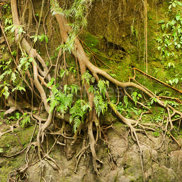 Roots of a tropical tree in the soil eroded by rain Stock photo © pzaxe