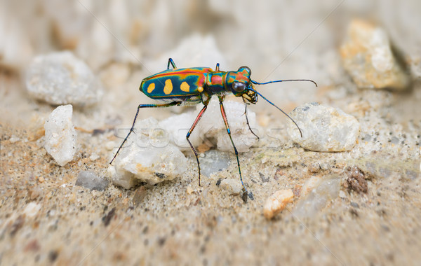 Extreme Closeup of a Brightly Colored Tiger Beetle in the Wild Stock photo © pzaxe