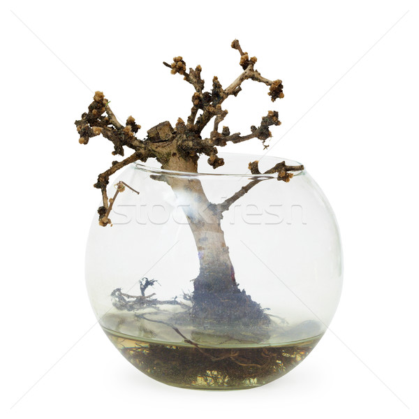 Failed bonsai tree - dead small plant in aquarium Stock photo © pzaxe
