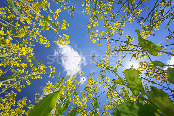 Sky framed by flowering oilseed rape Stock photo © pzaxe