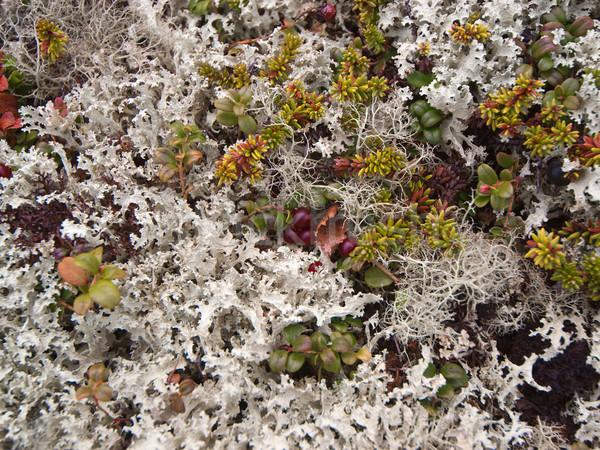 Lichen Stock photo © pzaxe