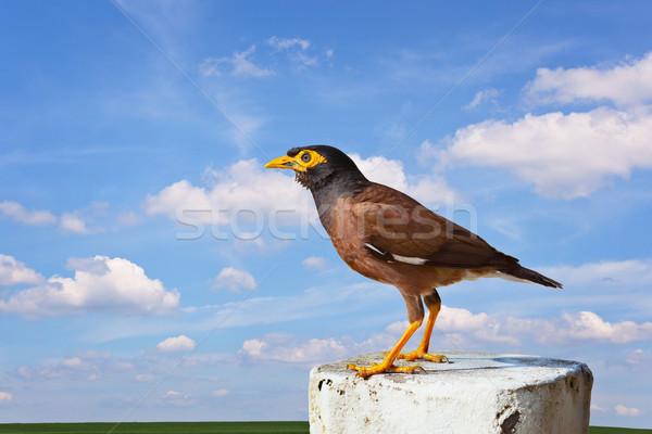 Common mynah bird Stock photo © pzaxe