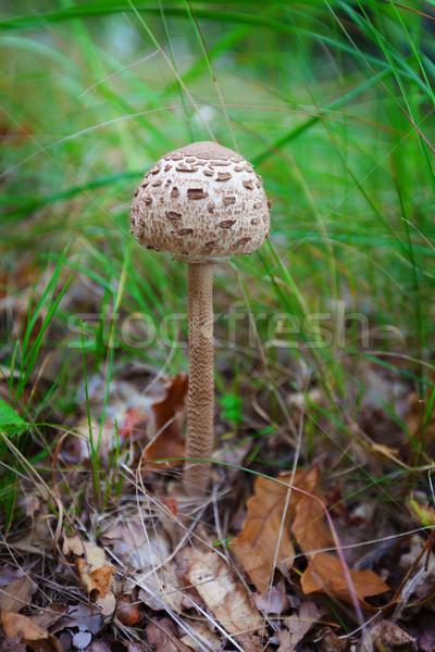 パラソル キノコ 草 森林 背景 色 ストックフォト © pzaxe