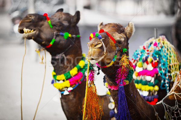 Stock photo: Two camels dressed up for fair. Pushkar, India