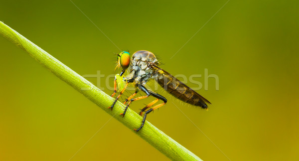 Asilidae (robber fly) sits on a blade of grass. Thailand Stock photo © pzaxe
