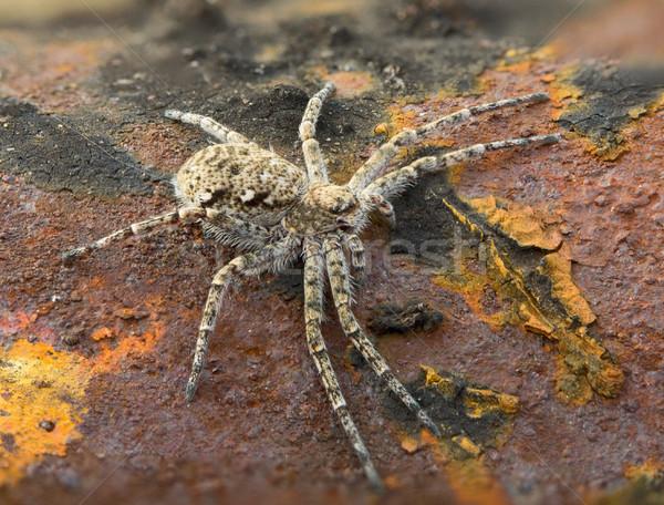 Сток-фото: Spider · ржавые · поверхность · небольшой · коричневый · ног