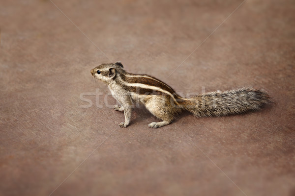 Indian palm squirrel on brown background Stock photo © pzaxe