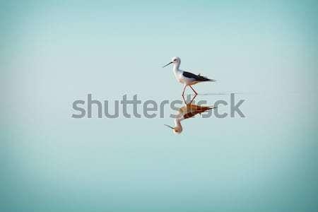 Black-winged Stilt, Common Stilt, or Pied Stilt (Himantopus hima Stock photo © pzaxe