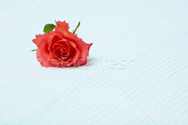 Lone red rose on blue towel Stock photo © pzaxe