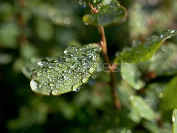 Dauw bladeren groot ochtend water Stockfoto © pzaxe