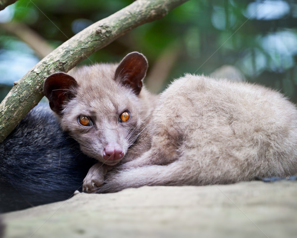 Asian Palm Civet - luwak Stock photo © pzaxe