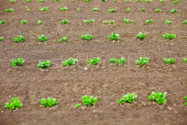 Young potato shoots in on spring tillage Stock photo © pzaxe