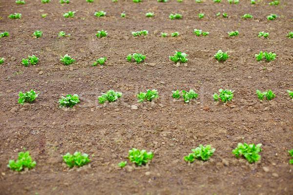 小さな ジャガイモ 春 葉 庭園 ファーム ストックフォト © pzaxe