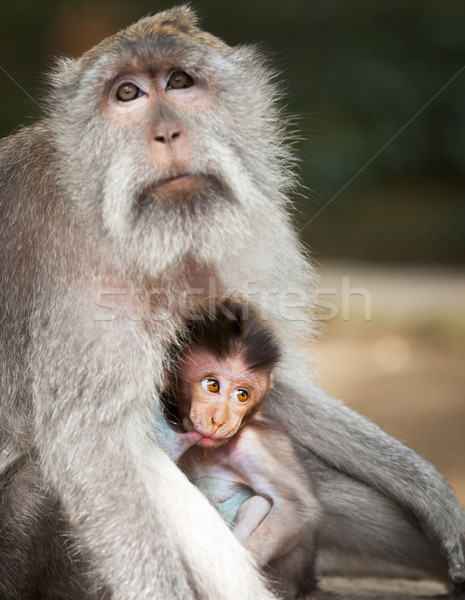 Monkey feeds her cub. Animals - mother and child Stock photo © pzaxe