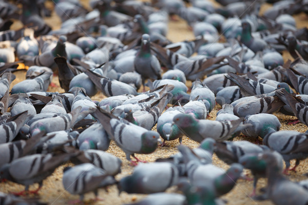 Fed pigeons at the square. Jaipur, India Stock photo © pzaxe