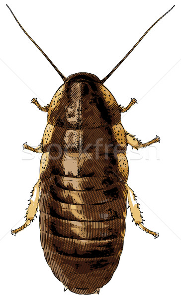 Cockroach isolated on white - vector illustration Stock photo © pzaxe