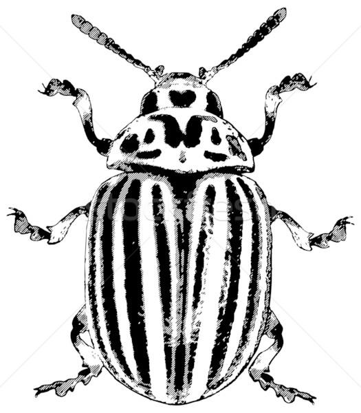 コロラド州 カブトムシ ジャガイモ 黒 頭 白 ストックフォト © pzaxe