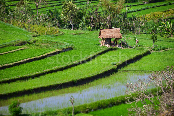 Terraced rice fields with old hut. Bali, Indonesia. Stock photo © pzaxe