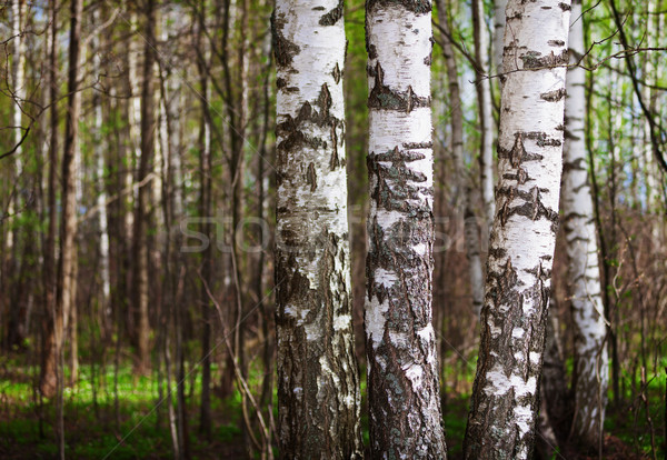 Trunks of birch trees in the northern forest Stock photo © pzaxe