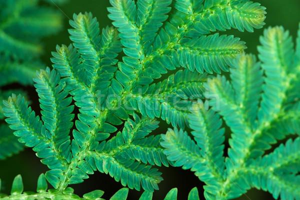 Levelek trópusi páfrány közelkép kicsi fű Stock fotó © pzaxe