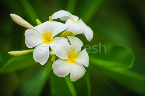 Beautiful white flowers of Plumeria (Frangipani) on green foliag Stock photo © pzaxe