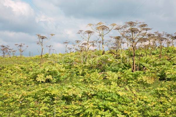 Thickets Heracleum Stock photo © pzaxe