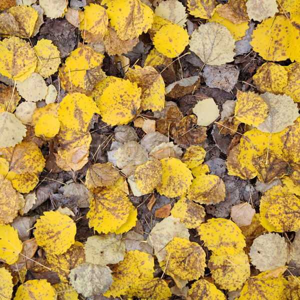 Autumn leaves Stock photo © pzaxe