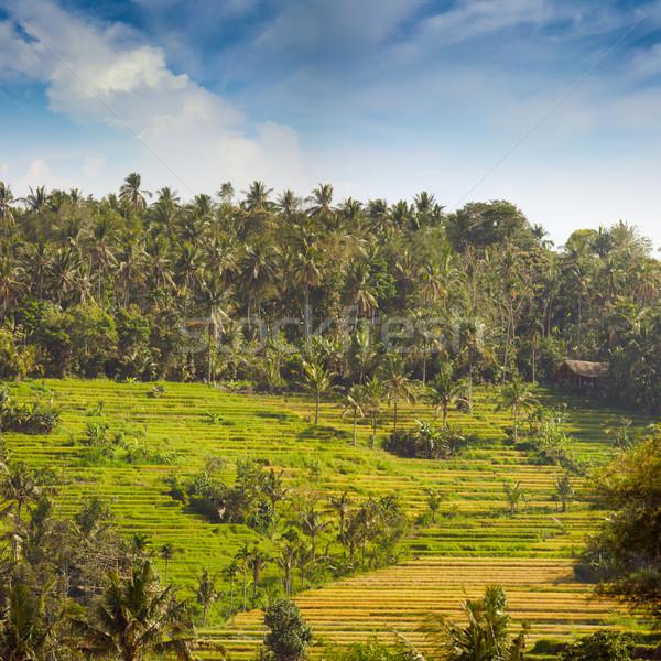 Rizs mezők domboldal ültetvény Ázsia kókusz Stock fotó © pzaxe
