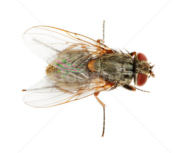 Usual fly close up Stock photo © pzaxe