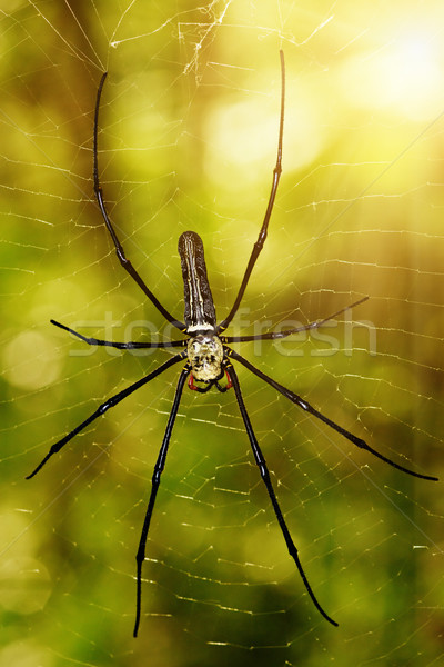 Large tropical spider - nephila (golden orb) Stock photo © pzaxe