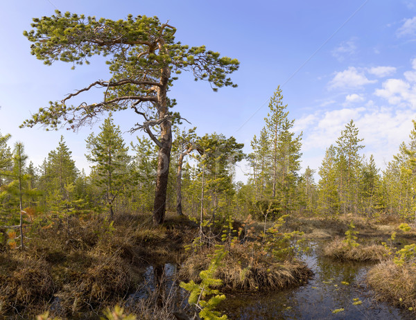 The pine among bog Stock photo © pzaxe
