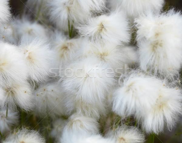 Marsh plants - cotton grass Stock photo © pzaxe