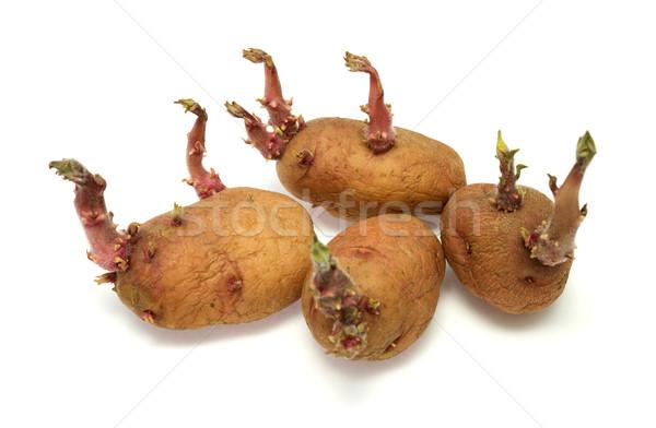 Four progrown tubers of a potato Stock photo © pzaxe