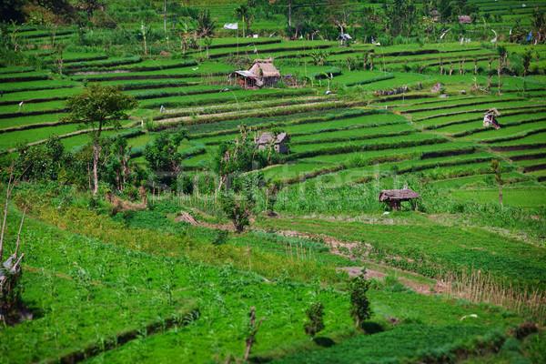 Pirinç alanları bali Endonezya yeşil çim Stok fotoğraf © pzaxe