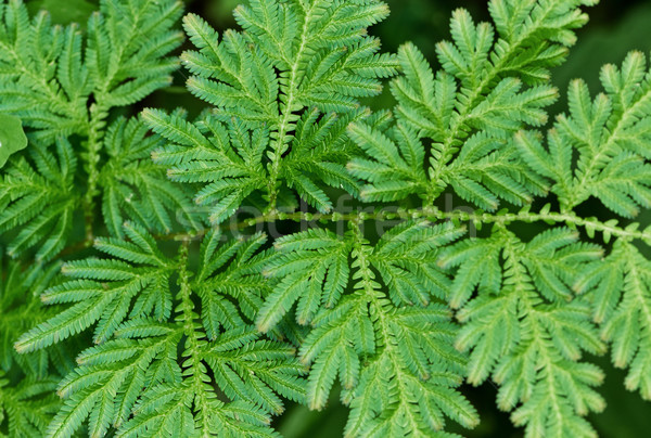 Fern leaves close up Stock photo © pzaxe