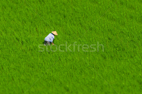 Indonesisch landbouwer werken rijstveld groene gras Stockfoto © pzaxe
