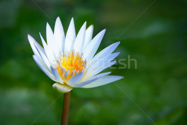 Blooming lotus on the marshes background Stock photo © pzaxe
