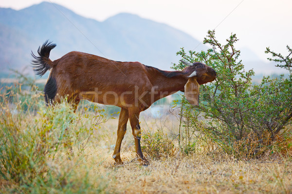 Goat eats thorny bushes Stock photo © pzaxe