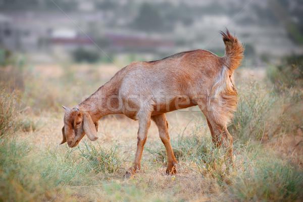Stock photo: Domestic grazing goat