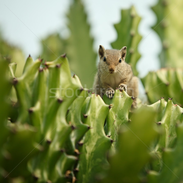 çizgili sincap kaktüs portre gizleme çöl yaz Stok fotoğraf © pzaxe