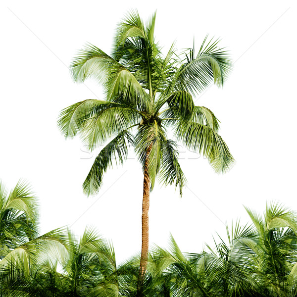 High coconut tree isolated on white background Stock photo © pzaxe