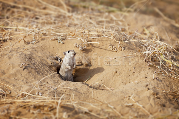 Rodent Indian desert jird (Meriones hurrianae) Stock photo © pzaxe