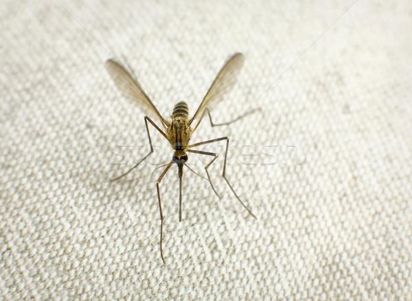 Zanzara mordere grigio corpo capelli femminile Foto d'archivio © pzaxe