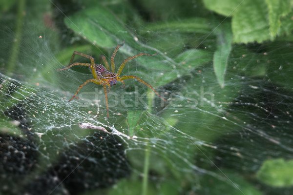 Scary spider lurking in its web Stock photo © pzaxe