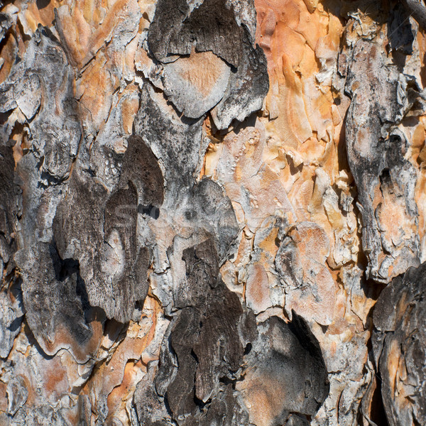 Felület fenyőfa ugatás erdő háttér növény Stock fotó © pzaxe