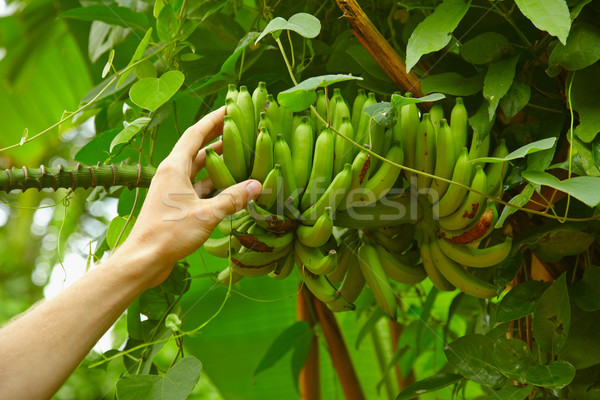 Inedible small wild bananas in the rainforest Stock photo © pzaxe